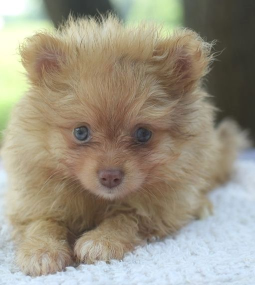 Pin By Tami T Crutcher On Pomeranian Best Apartment Dogs Puppies Best Pets For Kids