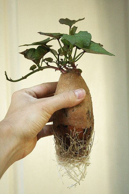 How to prepare a sweet potato for planting! Go organic