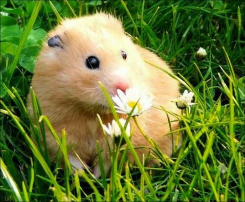 Cute little Syrian hamster