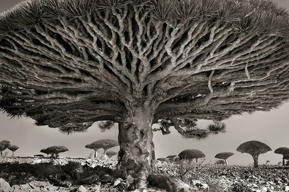 Les plus vieux arbres : Portraits Of Time