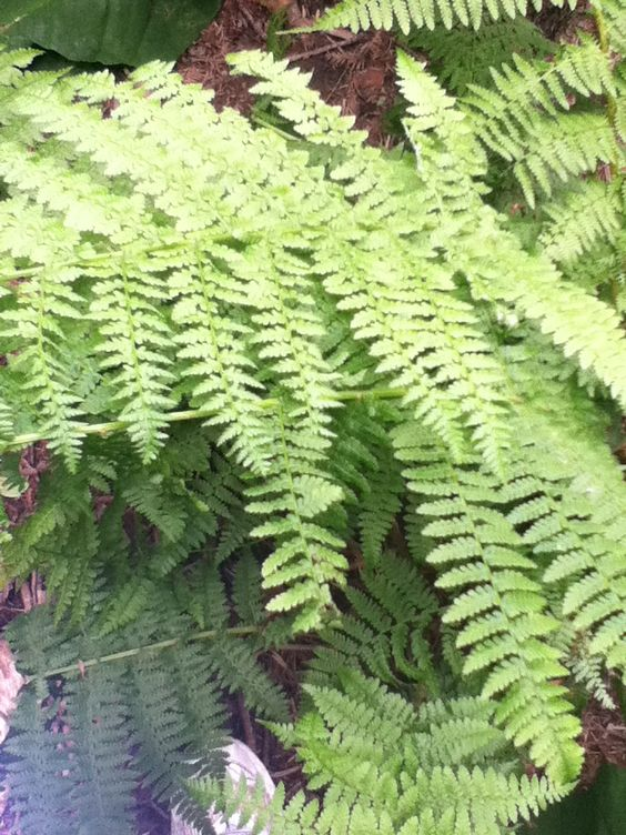 The Lady Fern Athyrium. The widest portion is in the middle, which are the 'hips' while the top/bottom portions are thin, kinda like ladies :)