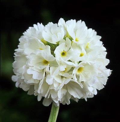 Primula denticulata 'Alba'Fotografia de John Glover, uno de los primeros y de los mas importantes fotografos de jardin del Reino Unido