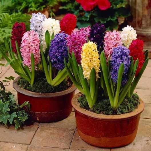 All of our best selling hyacinth bulbs in one great mix. Sweet-scented, Hyacinth Bulbs can be planted outside in rows or as borders, and can also be grown inside in containers. Resistant to deer, squirrels, rabbits, and rodents. Plant our Mixed Colors Collection of hyacinth bulbs in full sun or partial shade.