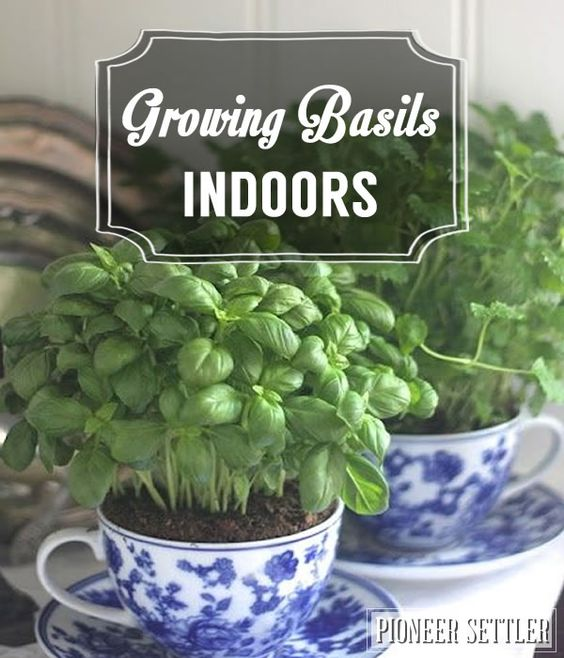 Homesteading Guide To Growing Basil Indoors | Herb gardening by Pioneer Settler at http://pioneersettler.com/growing-basil-indoors-homesteading/