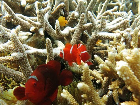 Nemo at Wakatobi Island
