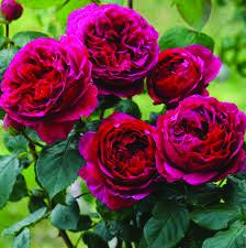 Heathcliff - Ludwigs RosesLudwigs Roses