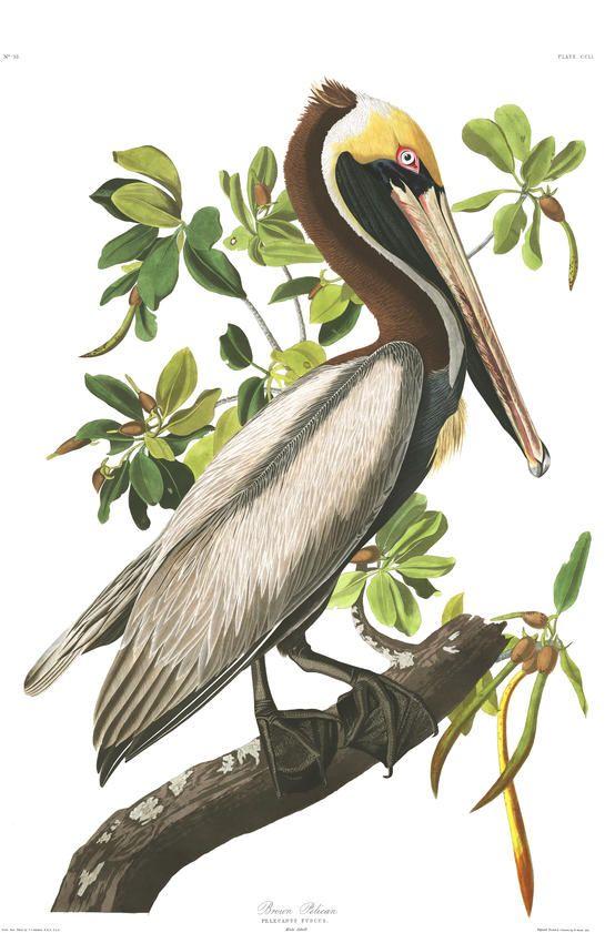 Brown Pelican | Audubon
