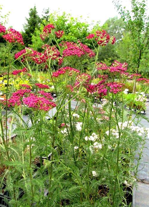 Krwawnik Pospolity Cherry Queen Czerw Rozowe C0 5 7153240932 Oficjalne Archiwum Allegro Plants Achillea Garden