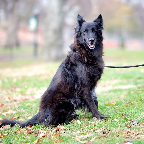 Chopper, a Belgian Sheepdog.