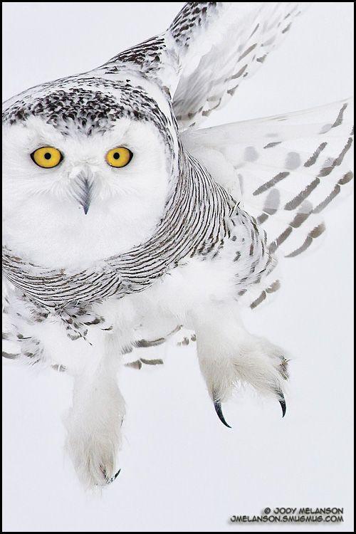 Snowy ghost , by GOTINHA Love the Snowy Owl!