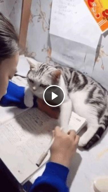 Gato manhoso atrapalhando os estudos do seu Humano