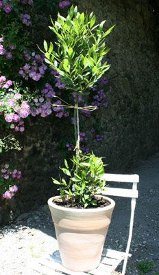 Bay Plant (from Southern France store)