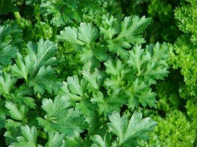 Heirloom Organic 400 Seeds Green Parsley Petroselinum by seedsshop, $1.79