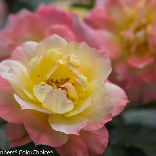 Oso Simple Squishy Banana : Oso Easy  Italian Ice  - Landscape Rose - Rosa x Green, Nice and Colors