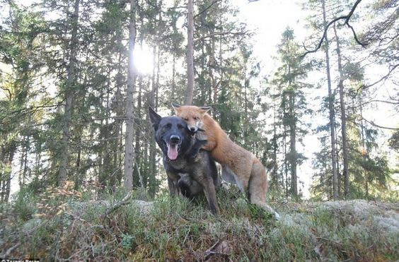fox became friends with dogs 1