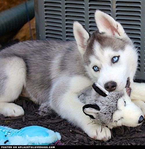 Siberian Husky Puppy has a mini me