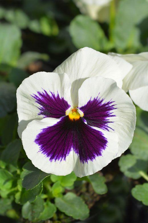 17 Beautiful Different Types Of Pansies Pansies Flowers Pansies Garden Lovers Club