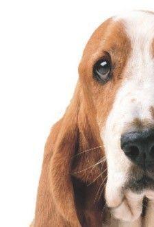 Basset Hound    My baby, Julius!!