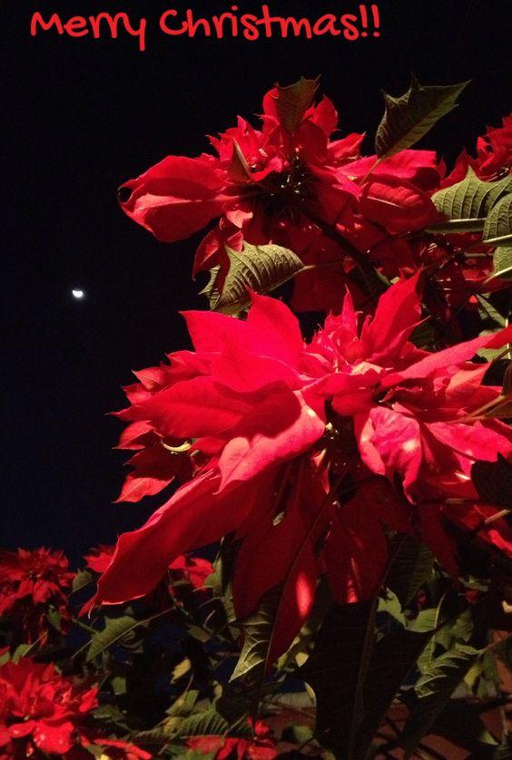 Nochebuena... herencia de mi tía-abuela a mi madre y ahora a mi. Todas las Navidades nos alegra con una gran cantidad de flores dobles. Gracias Tante Lene.