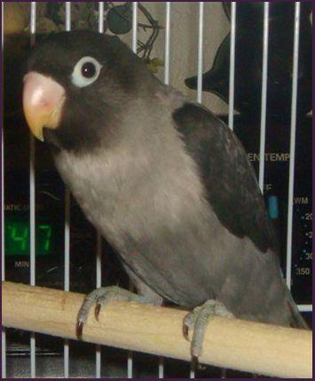 Mauve Black Masked Lovebird   black masked LOVEBIRDS   Pinterest ...