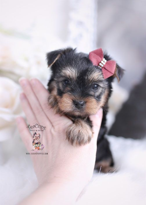 Toy Teacup Puppies For Sale Cuteteacuppuppies Yorkie Puppy For