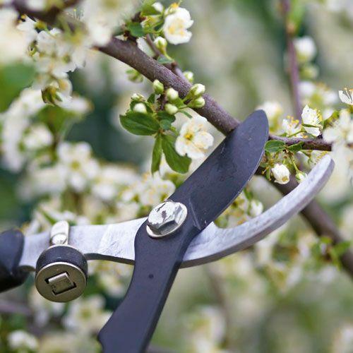 How To Prune Trees And Shrubs Australian Handyman Magazine Trees And Shrubs Tree Pruning Pruning Plants