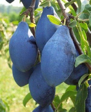 E um tipo de Ameixa azul grande e cor escura