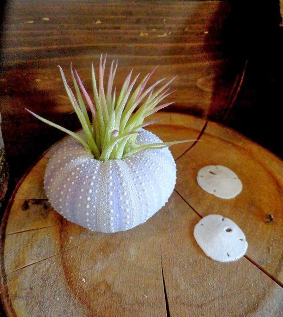 Succulents and sea urchins, via @Loree Bohl