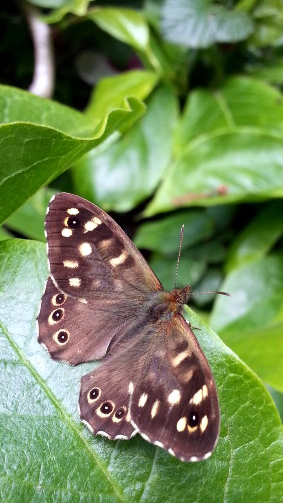 A wood brown butterfly