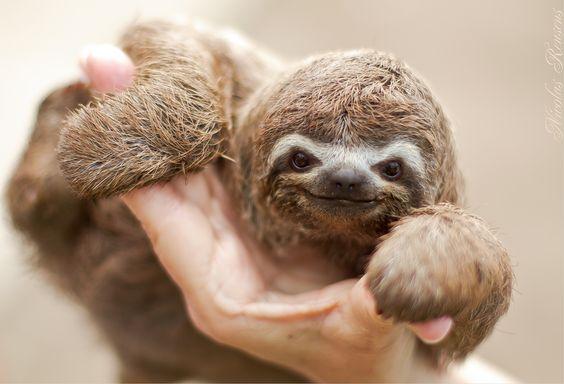 .: Sloth Picture, Baby Sloths, Sloth Smile, Favorite Animal, Amazing Animal, Baby Animals, Three-Toed Sloth,  Bradypus Tridactylus, Happy Sloth