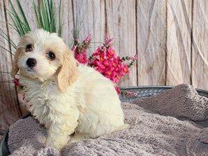 Puppies For Sale Puppies For Sale Puppies Pets