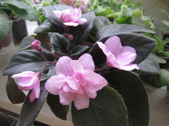 African violet Pink Tulip | Mine to be | Pinterest ...