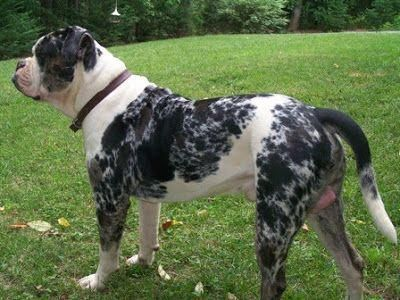 Alapaha Blue Blood Bulldog Questions Answered Here Tiere