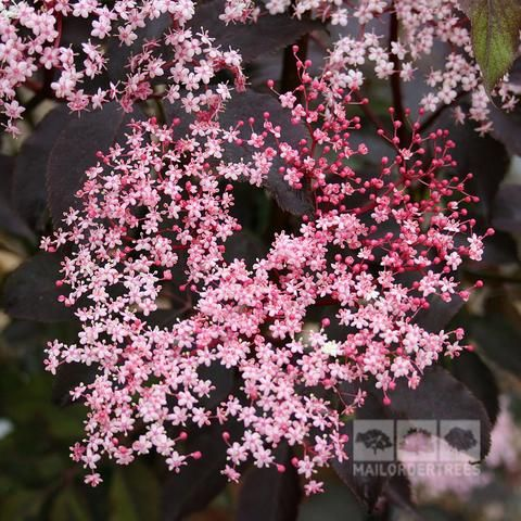 Sambucus Black Beauty - Flowers