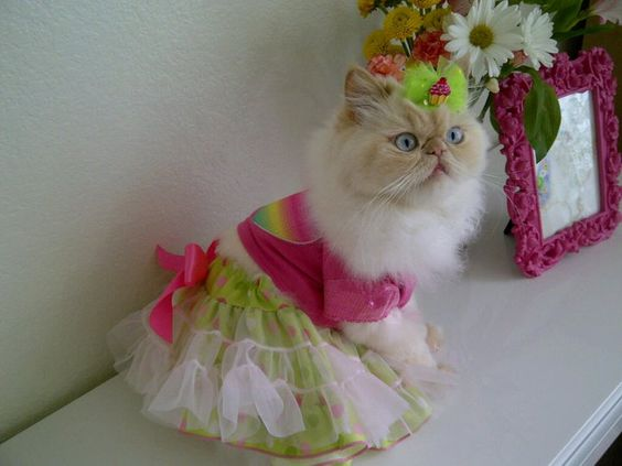 persian kitties wearing clothes - Google Search