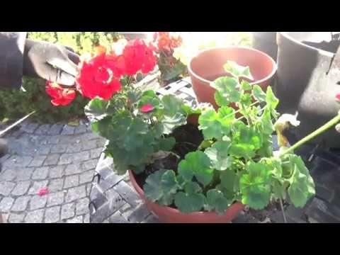 75 Jak Przechowywac Pelargonie Youtube Geraniums Plants
