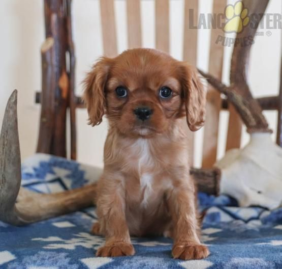 Kisses Cavalier King Charles Spaniel Puppy For Sale In Bird In Hand Pa Lancas In 2020 King Charles Cavalier Spaniel Puppy Spaniel Puppies For Sale Spaniel Puppies