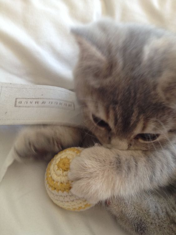 I think I love my new toy  #kitten #britishshorthair #queenelsa #cattoy #mungo&maud