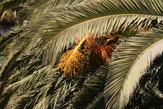Date palm blooming, Castelo de Silves, Algarve, Portugal
