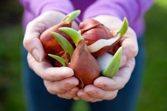 Consejos para cultivar y cuidar una de las flores más bellas y coloridas de la primavera usando macetas o recipientes de vidrio.