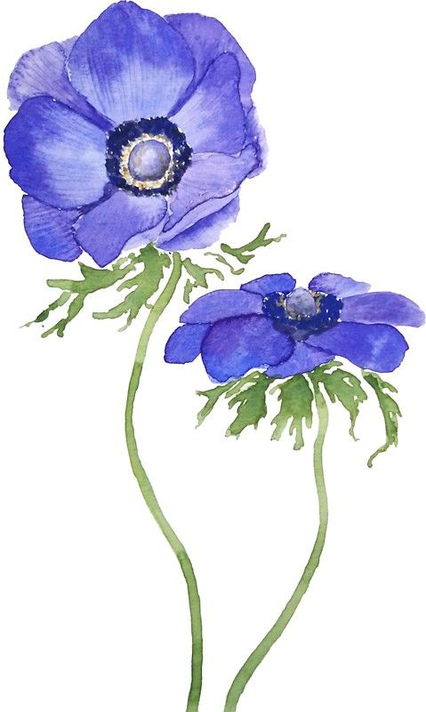 Blue Purple Anemone Flowers Watercolor Anemone Flower Watercolor Flowers Flower Drawing