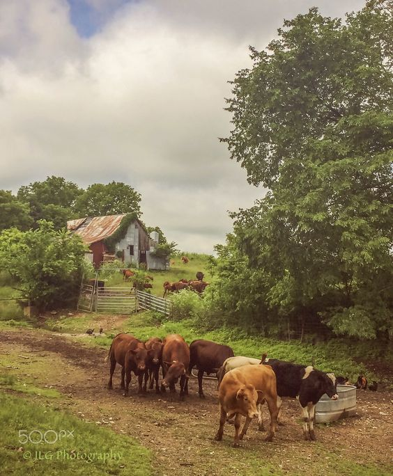 Summertime - Cows in rural farm scene