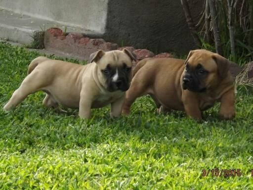 American Bully Puppy For Sale Puppies For Sale Puppies American Bully
