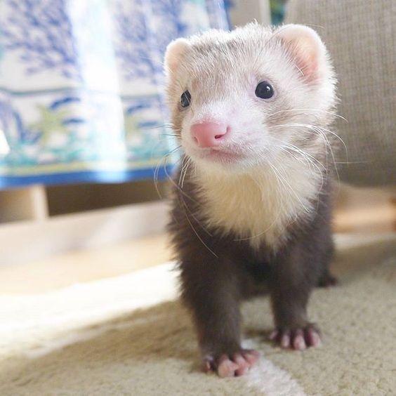 10 Reasons Ferrets Would Make Great Pets Cute Ferrets Pet Ferret Ferret