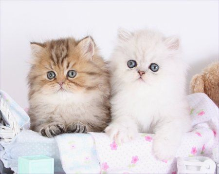 Teacup Persians For Sale | Teacup Persian Kittens For ...