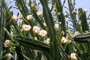 Cacto Cereus (Cereus hexagonus)