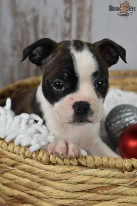 Bostonterrierpuppy Bostonterrier Boston Charming Puppiesofpinterest Pinterestpuppies Buckeyepuppies Puppie Boston Terrier Puppy Boston Terrier Puppies