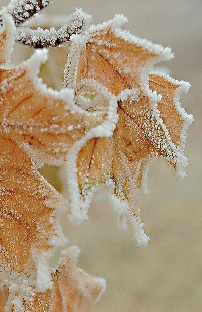 Frosted leaves. I would like to recreate this with fake snow on waxed leaves for a fall wreath.