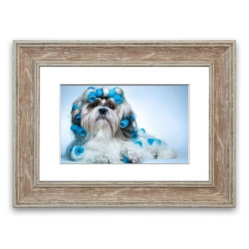 Shih Tzu Hund In Lockenwickler Cornwall Weiss Gerahmte Wandkunst