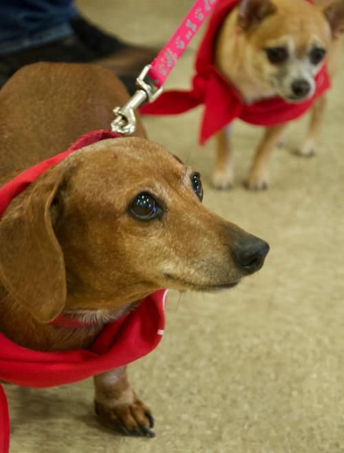 Adoptions Dog Star Rescue Dog Star Rescue With Images Pets Kitten Adoption Dachshund Mix